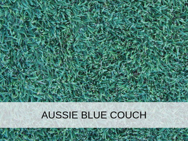 Brilliant Aussie Blue Couch Brisbane Turf And Landscape Supplies Pdpeps Interior Chair Design Pdpepsorg
