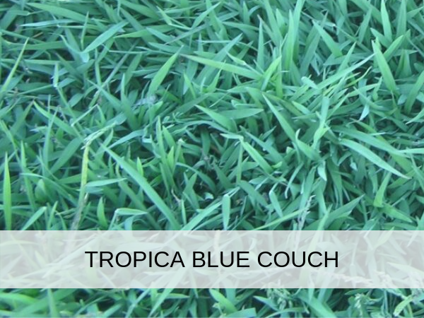 Tropica Blue Couch Brisbane Turf Amp Landscaping Supplies